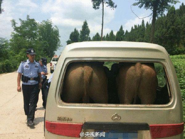 """四川""""牛""""司机:面包车后排塞进两头牛"""