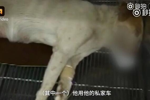母狗被摩托车撞成重伤,生下9崽后离世