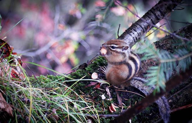 林子里的松鼠