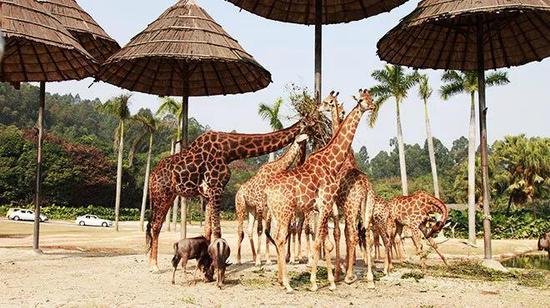 乘坐空中缆车,俯瞰万兽漫步东非草原:长颈鹿、角马、羚羊等数万只动物在非洲草原上各显身姿