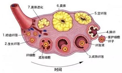 超声监测排卵的时间如何选择?