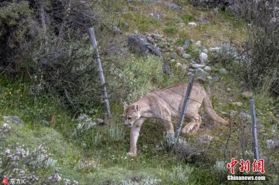 资料图:美洲狮穿过围栏。