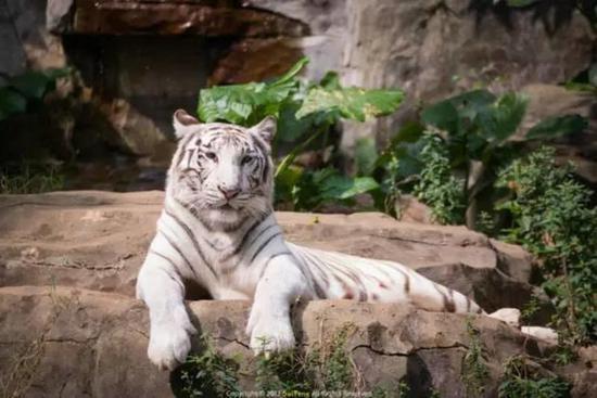 白虎是长隆野生动物世界的镇园之宝。目前长隆野生动物世界已经拥有超过150多只白虎,堪称世界白虎王国。
