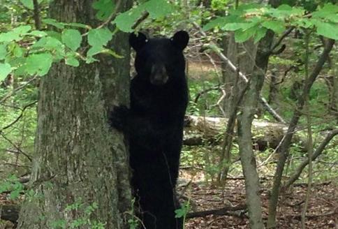 美国黑熊(资料图)