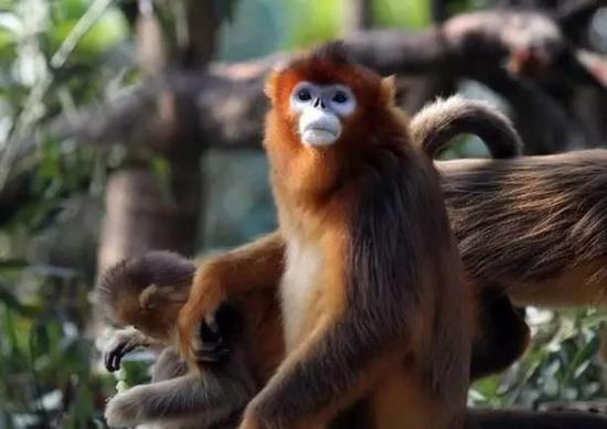 """被誉为""""猴中最美""""的川金丝猴,美猴王盯着你看呢,快把好吃的拿出来"""