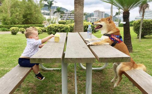 柴犬陪伴萌娃长大形影不离友情深厚
