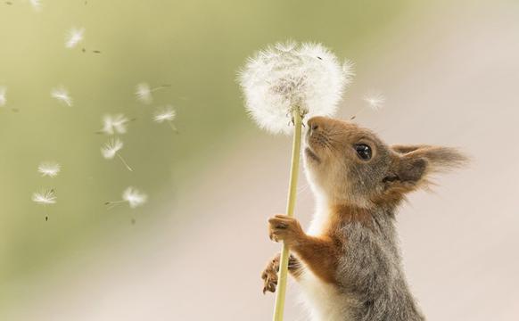 瑞典紅松鼠吹蒲公英畫面逗趣