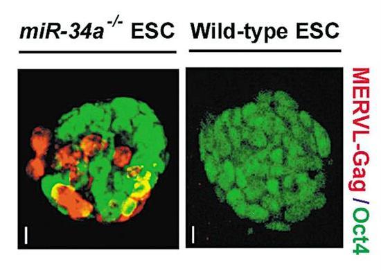 移除miR-34a的胚胎干细胞(红色)与正常胚胎干细胞的发育区别明显。 图片来源:何琳实验室