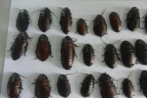 """10岁女孩""""坐拥""""7000只蟑螂:喜欢它们在身上爬"""