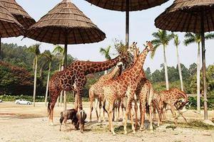 暑假去哪儿:最适合亲子游的广州长隆和珠海长隆等你来!