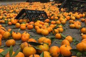 大货车发生事故32吨橘子滚落 家长带孩子现场哄抢