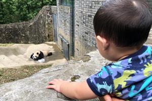 张歆艺曝儿子看熊猫不想回家 萌宝头发浓密肉嘟嘟