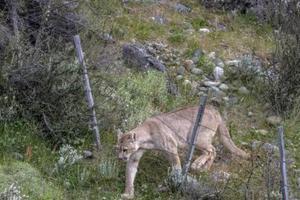 美国8岁男童遭美洲狮攻击 英勇反击保住性命
