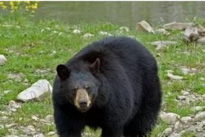 """日本北海道一所小学""""熊出没"""" 未造成人员伤亡"""