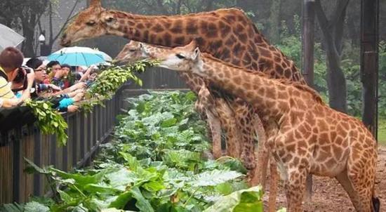这帮长颈鹿全都是吃货!特别喜欢吃树叶,完全来者不拒