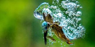 翠鸟水中捕鱼大显身手