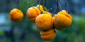 享誉京城的十三陵磨盘柿子