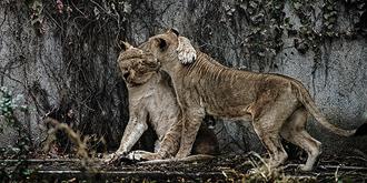 相亲相爱的狮姐狮妹