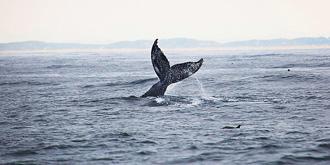 蒙特雷的壮观鲸群
