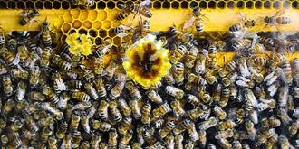 绝无仅有的纯种蜜蜂