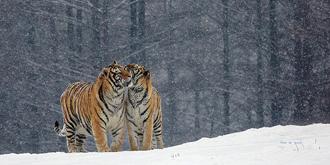 雪中虎之情