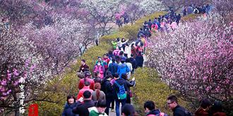 南京梅花山惊艳了春天