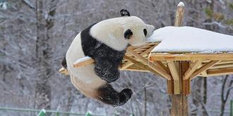 大熊猫在东北的幸福生活