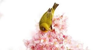 樱花丛中的绣眼鸟