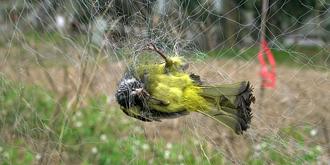 可怜!小鸟被巨网网住