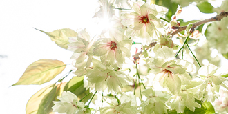 罕见!含羞带怯的绿樱花