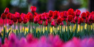 植物园郁金香花开正艳