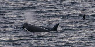 """传说中的""""杀人鲸"""""""
