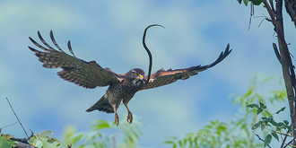 令人刮目相看的灰脸鵟鹰