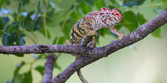 马达加斯加的变色龙世界