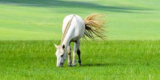 最优秀的白马,成吉思汗的御骑