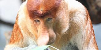 濒临灭绝的大鼻猴中国首展