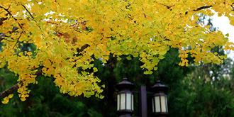 银杏树挂小金扇
