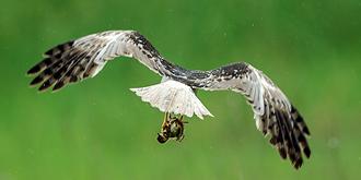 18种猛禽和它们的猎物