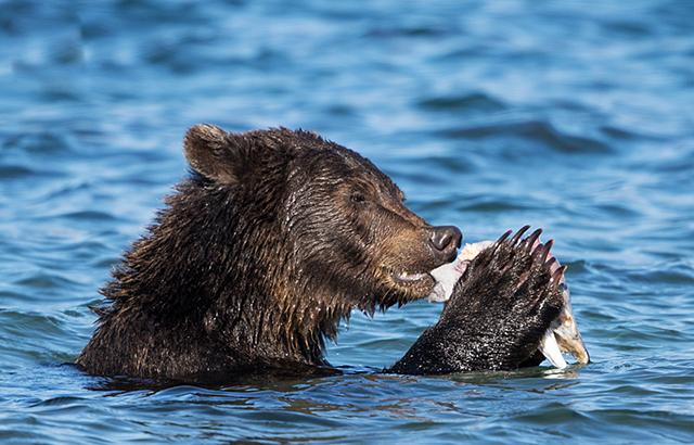 欧亚大陆上体型最大的肉食动物