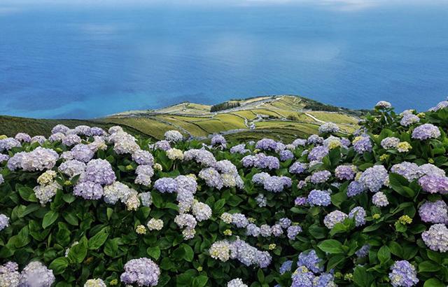超梦幻!地球上最壮观的绣球花海