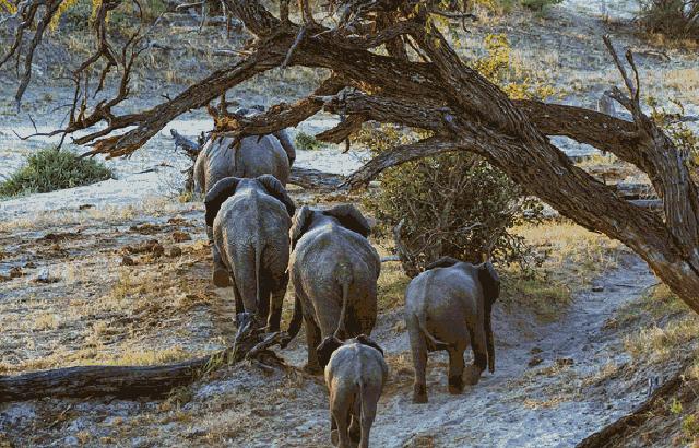 """博茨瓦纳:探秘""""非洲象王国"""""""