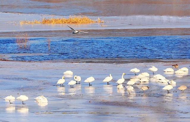 京郊:宁静的怀柔水库变成了美丽的天鹅湖