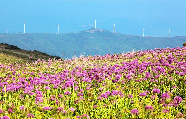 九月的贵州屋脊,韭菜坪开成花海