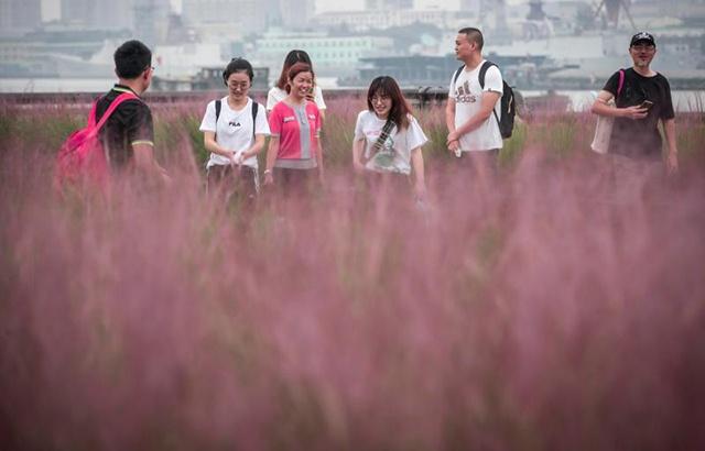 粉黛乱子草迎来开花季,游客纷纷打卡留影