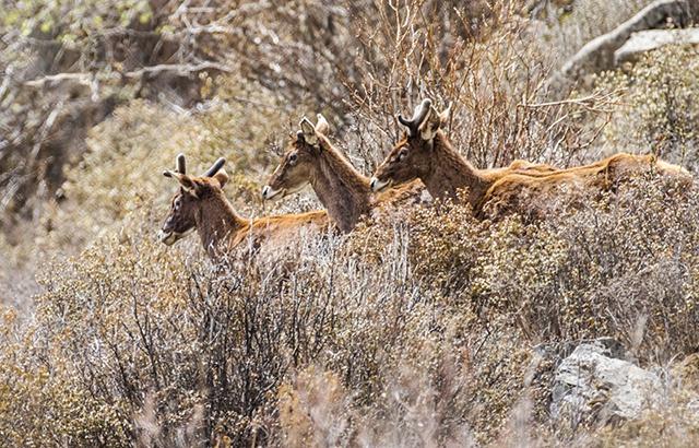 我在青藏高原抓拍到了珍稀动物