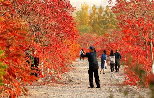 宁夏石嘴:深秋时节的那一抹红色
