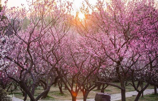 无锡梅园进入最佳赏花期,美得太震撼
