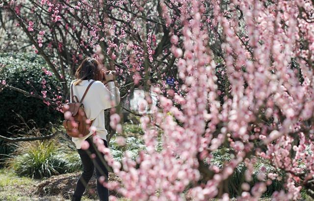 合肥植物园赏梅,如云如霞令人沉醉