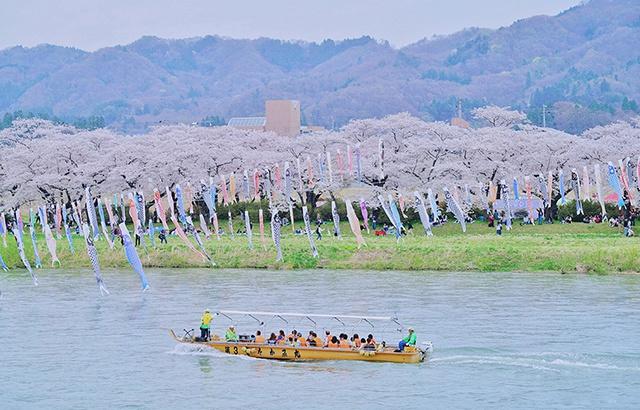 日本春光:当樱花遇上鲤鱼旗