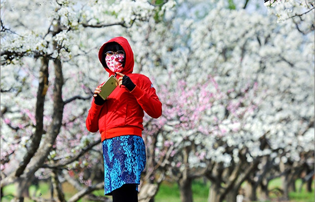 京城游客尽情赏玩四月梨花雪